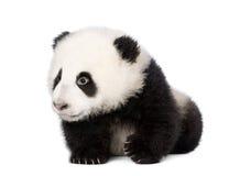 против белизны гигантской панды предпосылки гуляя Стоковое Изображение