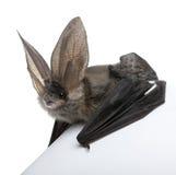 против белизны летучей мыши предпосылки eared серой длинней Стоковые Изображения