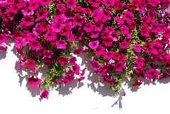 против белизны стены цветков fuchsia Стоковые Фотографии RF