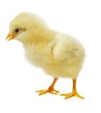 против белизны цыпленка предпосылки стоковое изображение
