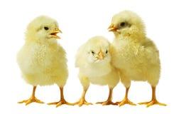 против белизны цыпленка предпосылки стоковое фото rf