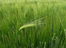 против ветра пшеницы уха ячменя Стоковые Фото