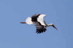 против голубого аиста неба летания Стоковое Фото