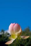 против голубого глубокого неба лотоса Стоковые Фото