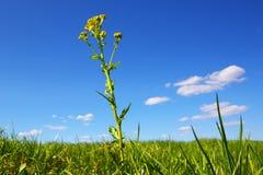 против голубого желтого цвета неба цветка поля стоковая фотография