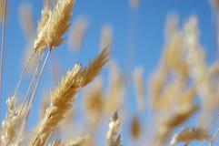 против голубого золотистого неба травы Стоковое Изображение RF