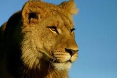 против голубого неба льва Стоковые Изображения