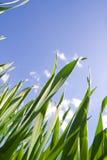 против голубого неба травы Стоковые Изображения