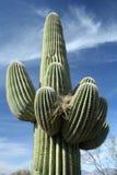 против голубого неба saguaro кактуса Стоковые Фотографии RF