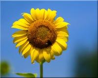 против голубого одиночного солнцецвета стержня неба Стоковые Изображения RF
