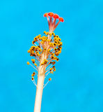 против голубого hibiscus скложите stamen вместе Стоковые Изображения