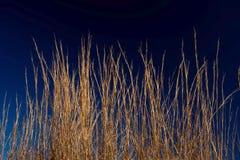 против голубой глубокой золотистой пшеницы неба травы Стоковое Изображение RF
