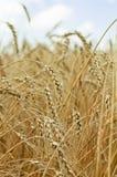 против голубой зрелой пшеницы неба Стоковая Фотография RF