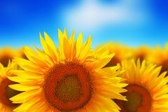 против голубого солнцецвета неба поля Стоковая Фотография RF