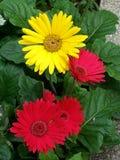 против голубой маргаритки цветет желтый цвет неба Стоковые Фото