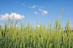 против голубой пшеницы неба ушей Стоковые Фотографии RF