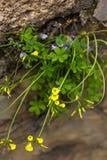 против детенышей весны цветка принципиальной схемы предпосылки белых желтых Желтое растущее цветков от стены Стоковые Изображения