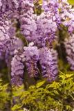 против детенышей весны цветка принципиальной схемы предпосылки белых желтых Красивая зацветая глициния Стоковые Изображения RF