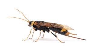 против древесины белизны оси horntail предпосылки стоковые изображения