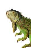 против игуаны зеленого цвета предпосылки изолированная белизна Стоковая Фотография