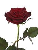 против изолированной белизны розы одиночной Стоковые Фото