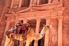 против казначейства верблюда Стоковая Фотография