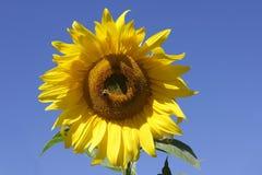 против красивейшего солнцецвета голубого неба Стоковое Изображение