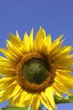 против красивейшего солнцецвета голубого неба Стоковая Фотография