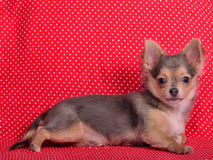 против красного цвета щенка польки многоточия чихуахуа предпосылки Стоковое Изображение