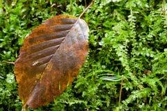 против листьев hornbeam предпосылки мшистых стоковая фотография rf