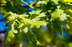 против неба дуба листьев Стоковые Фотографии RF
