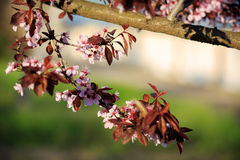 против неба предпосылки абрикоса цветя Стоковое фото RF