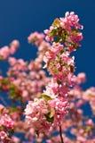 против неба цветений яблока голубого Стоковое Фото
