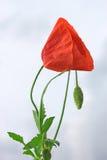 против пасмурного неба красного цвета мака стоковое фото rf