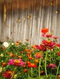 против предпосылки цветет деревянный zinnia Стоковая Фотография RF