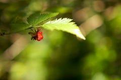 против предпосылки ягоды зеленеют красный цвет Стоковое Фото