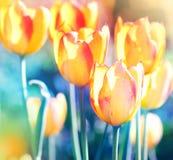 против предпосылки голубые облака field wispy неба природы зеленого цвета травы белое тюльпаны фокуса мягкие Стоковое Фото