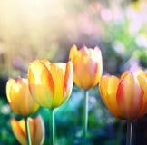 против предпосылки голубые облака field wispy неба природы зеленого цвета травы белое Мягкий цветок тюльпанов фокуса Стоковое Изображение RF