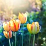 против предпосылки голубые облака field wispy неба природы зеленого цвета травы белое Мягкий цветок тюльпанов фокуса Стоковая Фотография