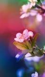 против предпосылки голубые облака field wispy неба природы зеленого цвета травы белое хворостина вишни цветеня Стоковая Фотография RF