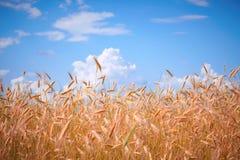 против пшеницы неба Стоковые Изображения RF