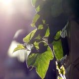 против света листьев Стоковые Фотографии RF