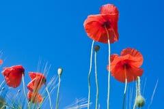 против сини цветет небо красного цвета мака Стоковое Изображение RF