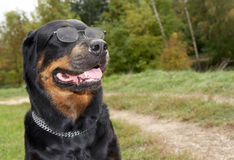 против снежка rottweiler собаки breed женского Стоковые Изображения