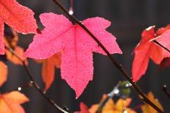 против солнечного света пинка клена листьев стоковое фото