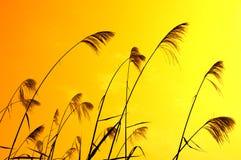 против солнечного света bulrushes Стоковое Изображение RF