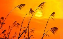 против солнечного света bulrushes Стоковое Фото