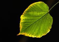 против солнца известки листьев Стоковое Фото