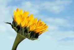 против солнцецвета голубого неба Стоковая Фотография RF