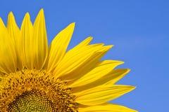 против солнцецвета неба предпосылки Стоковое Изображение